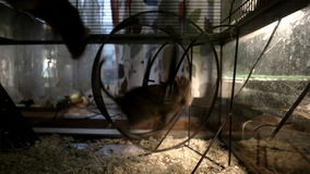 The rodent running in the wheel. Then the second rodent joints him and they running together.