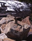 Rodent sitting on rock, Moraine Lake, Alberta. Stock Images