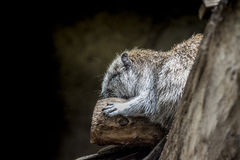 Rodent sleeping Stock Photo