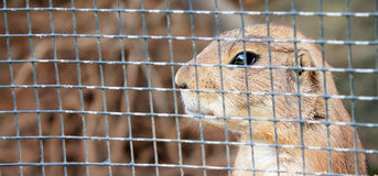 Rodent thoughtful in jail Stock Photography