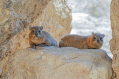 Rodents. Two rodents in Ein Gedi, Israel Royalty Free Stock Images