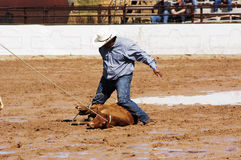Rodeo action. A cowboy throws a steer in a muddy rodeo arena Stock Image