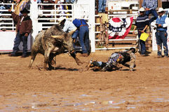 Rodeo action. A cowboy is thrown by a Brahma bull in the bull riding competition Stock Photos