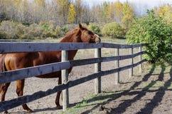 Canadian Barrel Racing Horse. Rodeo barrel racing horse on Canadian farm on Autumn morning royalty free stock photos
