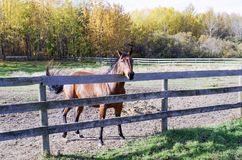 Canadian Barrel Racing Horse. Rodeo barrel racing horse on Canadian farm on Autumn morning Royalty Free Stock Photo