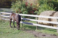 Canadian Barrel Racing Horse. Rodeo barrel racing horse on Canadian farm on Autumn morning royalty free stock image