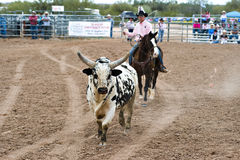 Rodeo bull. APACHE JUNCTION, AZ - FEBRUARY 26: A rodeo pick-up man corrals a bull during the bull riding competition at the Lost Dutchman Days Rodeo on February Royalty Free Stock Image