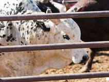 Rodeo Bull Royalty Free Stock Images