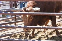 Rodeo Bull Stock Image