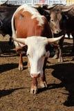 Rodeo Bull imagen de archivo