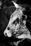 Rodeo bull b&w. Rodeo bull closeup, converted to black and white with added grain Stock Image
