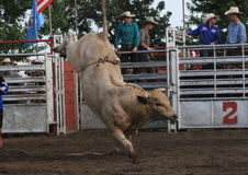 Rodeo bull bucking. With no rider Stock Image