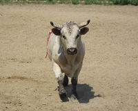 Rodeo Bull. After bucking off his rider Royalty Free Stock Photos