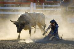 Rodeo Bull and Fallen Rider Royalty Free Stock Photography