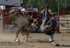 Rodeo: Bull Fighting Royalty Free Stock Image