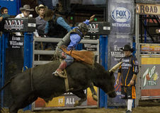 Rodeo bull rider  Stock Photography