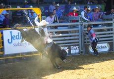 Rodeo Bull Riding. Santa Barbara Old Spanish Day Rodeo event 8/2013, bull rider Stock Photography