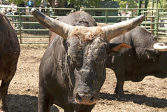 Rodeo Bull Stock Images