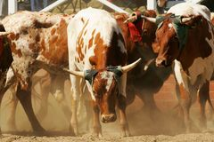 Rodeo bulls Stock Image