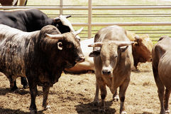 Rodeo Bulls. Bulls waiting for their turn in the rodeo arena Stock Photography