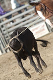 Rodeo Calf Roping Royalty Free Stock Photo