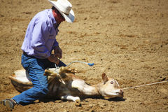 Rodeo Calf Wrestling. Santa Barbara Old Spanish Day Rodeo event 8/2013 Royalty Free Stock Photo