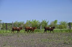 Rodeo cattle running in corral Stock Photography