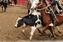 Rodeo in Chile Stockbilder
