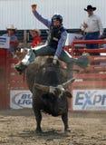 Rodeo: Combattimento di Bull Immagine Stock