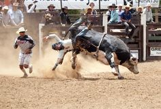 Rodeo - Cowboy falling off a bull Royalty Free Stock Image