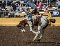 Rodeo Cowboy on A rough Ride. A rodeo cowboy tossed around by his horse during a rodeo in Red Bluff, California on April 19, 2015 Royalty Free Stock Image