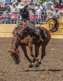 Rodeo Cowboy on A rough Ride. A rodeo cowboy tossed around by his horse during a rodeo in Red Bluff, California on April 19, 2015 Stock Photos