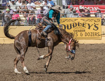 Rodeo Cowboy on A rough Ride. A rodeo cowboy tossed around by his horse during a rodeo in Red Bluff, California on April 19, 2015 Royalty Free Stock Images