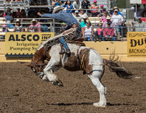 Rodeo Cowboy on A rough Ride Royalty Free Stock Images