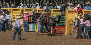 Rodeo Cowboy on A rough Ride Stock Photography