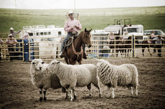 Rodeo and cowboys sheep Stock Images