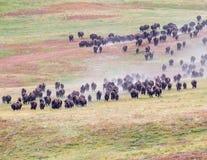 Rodeo del búfalo Imágenes de archivo libres de regalías