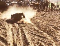 Rodeo del ganado del resorte Imagenes de archivo