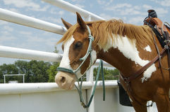 Rodeo horse. A horse waiting to compete in a rodeo Stock Photography