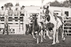 Rodeo Horse With Foal. A rodeo horse with foal trotting in step inside the ring.  Black and white.  Editorial.  Medicine Hat Stampede 2012 Stock Image