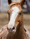 Rodeo Horse. A gorgeous rodeo horse in the arena Stock Photography