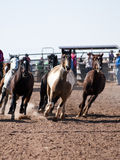 Rodeo horses. Rodeo stock horses run in the arena before the start of the O'Odham Tash all-indian rodeo Stock Photo