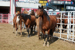Rodeo Horses Royalty Free Stock Photography