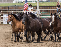 Rodeo Horses on Parade Stock Image