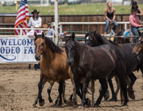Rodeo Horses Royalty Free Stock Images