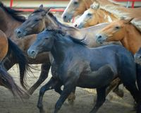 Rodeo Horses Running. Horses running as they are being rounded up at the Walworth County Fair Rodeo in Elkhorn, Wisconsin Stock Images