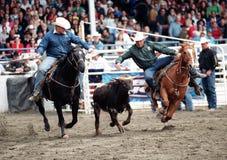 Rodeo: Roping della squadra Fotografie Stock Libere da Diritti