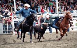 Rodeo: Roping della squadra Fotografia Stock Libera da Diritti