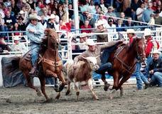 Rodeo: Roping della squadra Fotografia Stock