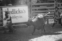 Rodeo, Santa Barbara, CA. Bull riders at Fiesta in Santa Barbara August 2013 Stock Images